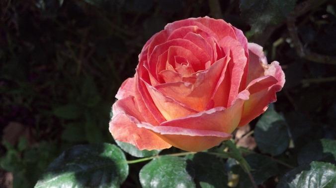 peach-539673_1280