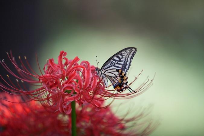 swallowtail-1140062_1920